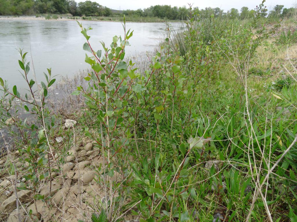 Vegetación de ribera que cada año nace en las misma orilla de río y que es la principal dieta de los castores,